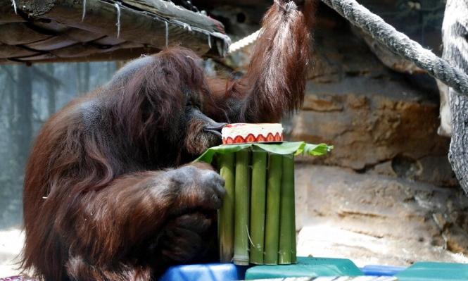 باريس: حديقة حيوان تحتفل بعيد ميلاد أنثى إنسان الغاب الـ50