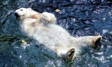 دب قطبي يسبح في الماء في حديقة الحيوان في هانوفر بألمانيا