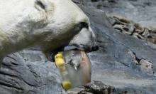 للهروب من الحر حيوانات براغ تتناول المثلجات