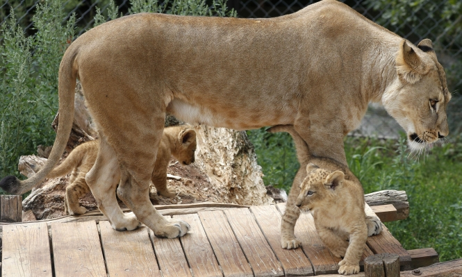 شبلان نادران  مع أمّهما في حديقة حيوان تشيكية
