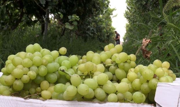 عنب غزة: بين الإتلاف بسبب الحر وغلاء الأسعار