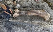 فرنسا:العثور على عظمة ديناصور عملاق