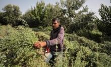 مزارع الزعتر في غزة تخطو نحو الاكتفاء الذاتي