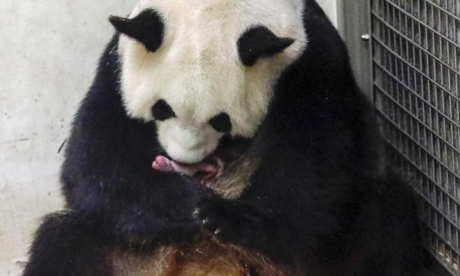 بلجيكا: متنزه للحياة البريةيحتفل بولادة زوج من الباندا