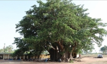 قدست سابقا.. شجرة ضخمة في السنغال تتحول مقصدا للسياح