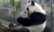 حديقة حيوان برلين في انتظار حدث سعيد للباندا منغ منغ.. مولود صغير في الطريق