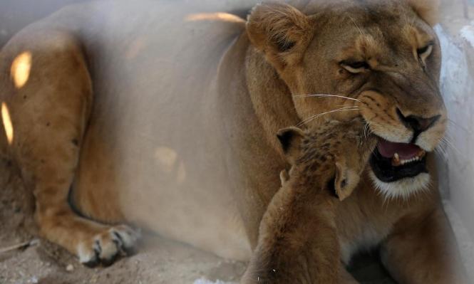 لبؤة تلاعب شبلها في حديقة للحيوان في غزّة