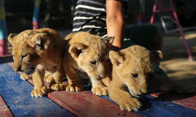 ولادة ثلاثة أشبال في حديقة حيوانات في غزّة