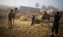 النقب: فرض مخالفات قدرها 70 ألف شيكل على مالكي إبل