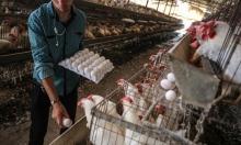 غزة تستهلك نحو 200 مليون بيضة سنويا