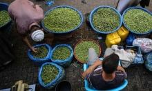 غزة: للزيتون موسمه... وسوقه