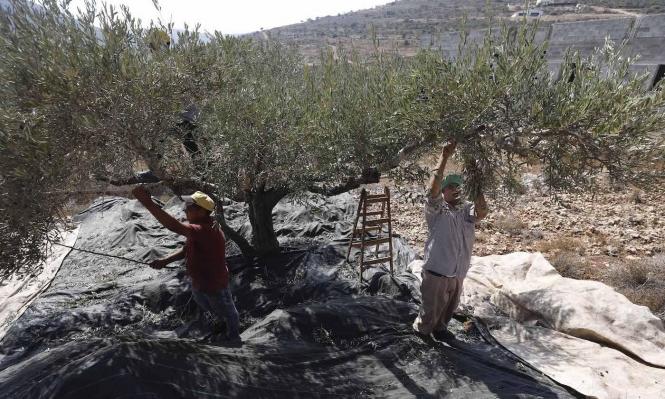 اعتداءات للمستوطنين على قاطفي الزيتون بنابلس والخليل