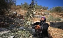 قطف الزيتون في الضفة الغربية.. رحلة مليئة باعتداءات المستوطنين