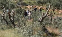 مستوطنون يقطعون 118 شجرة زيتون بسلفيت ونابلس