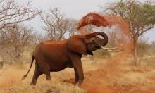 زيمبابوي: نفوق 200 فيل منذ الشهر الماضي نتيجة الجفاف