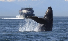 النرويج تتجاوز حصة اليابان في صيد الحيتان