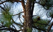 نقّار الخشب في موطنه بغابة شمال كارولينا