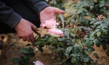 غزّة: انتعاش حذر لزراعة الورود عشيّة رأس السّنة