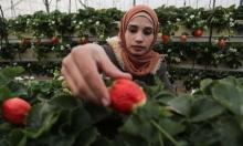 تلقيط الفراولة في غزة
