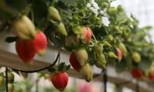 ثمار التّوت تتدلّى على رفوف إنباتها في غزّة