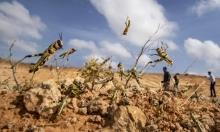 خطر المجاعة القادم: الجراد الصحراوي في أفريقيا