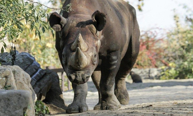 آمال بإنقاذ وحيد القرن الأسود من الانقراض مع زيادة أعداده