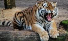 نيويورك: إصابة نمر بحديقة حيوانات بفيروس كورونا