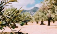 أشجار الزيتون تتهدد في أوروبا بسبب بكتيريا.. والخسائر بالمليارات