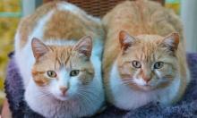 أول قطتين تصابان رسميا بوباء كورونا المستجد