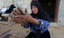 إعداد الفريكة في غزّة