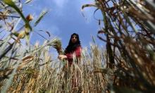 حصاد القمح في خان يونس لإعداد الفريكة