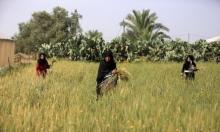 نساء خان يونس يحصدن القمح تحضيرًا للفريكة