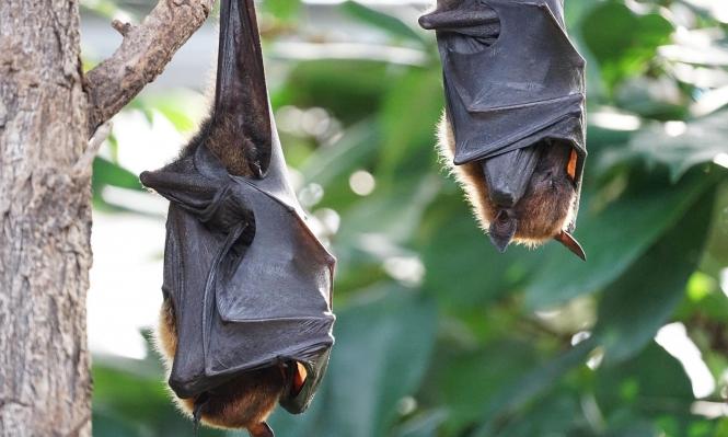 """أميركا: وقف تمويل """"أبحاث الخفافيش"""" بالصين وتحذيرات من وباء جديد"""