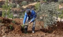 المستوطنون يقتلعون 450 شتلة من أراض فلسطينيّة