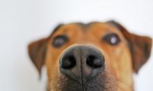 """""""كلاب الكشف الطبي"""": مشروع تجارب في بريطانيا"""