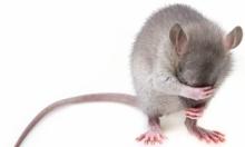هل الإنسان هو المسؤول عن انتشار الفئران الرماديّة؟