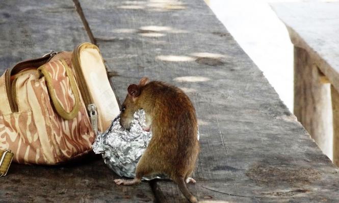 """سلوك """"غير معتاد أو عدواني"""" قد يطرأ عند الفئران إثر كورونا"""