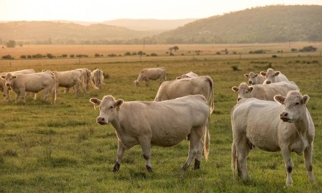 قطيع منالأبقار يغضب ويقتل مسنا في بريطانيا