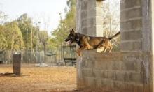 خلافا للمتبع بالعالم: تجارب موجعة وقاتلة على الحيوانات بالجيش الإسرائيلي