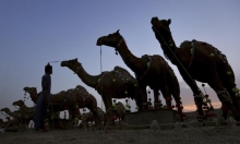 تحضيرا لعيد الأضحى: باكستان تزيّن ناقاتها