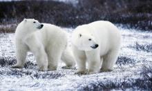 الدببة القطبية تواجه خطر الانقراض بسبب ارتفاع درجات الحرارة