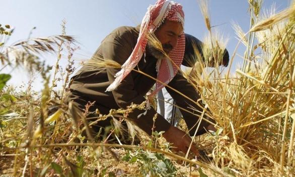 الحاجة أم الاختراع: تطوير آلة تحصد القمح وتصنع التبن بغزة