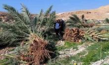 اعتقال 17 فلسطينيا بالضفة واقتلاع عشرات أشجار النخيل بالأغوار