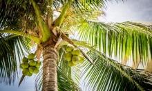 أبحاث كندية تدرس منافع فاكهة نخل الآساي لعلاج أعراض كورونا
