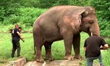 بيطري: أغاني فرانك سيناترا كانت كفيلة بتهدئة فيل