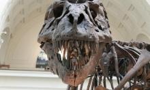 مزاد يعرض هيكلا عظميا لتيرانوصور في نيويورك