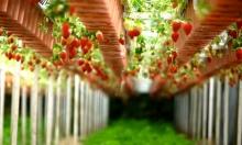البرازيل: مزرعة عموديّة تنمو شتلاتها على ضوء زهري