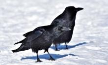 """دراستان: """"للطيور قدرة على التفكير كالثديَات"""""""