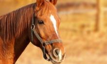 تجارب لعلاج كورونا بواسطة بلازما دم الحصان