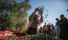 افتتاح موسم الزيتون في خانيونس